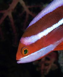 Red sea fairy basslet taken at Shark reef with E300. by Nikki Van Veelen 